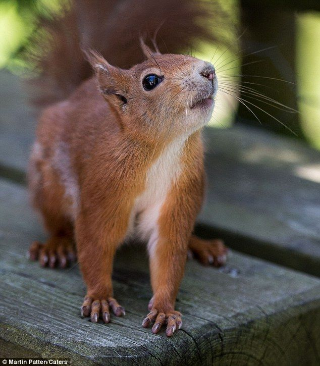 Adorable and friendly red squirrel on picnic table in Surrey