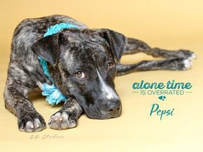 PEPSI - ID#A471532 - URGENT - Harris County Animal Shelter in Houston, Texas - ADOPT OR FOSTER - 1 year old Female Plott Hound mix - at the shelter since Nov 01, 2016.