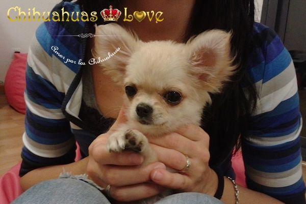 Chihuahuas Love - Que Me Han Dado y Quitado Los Chihuahuas. Chihuahuas. 1ª Entrega.