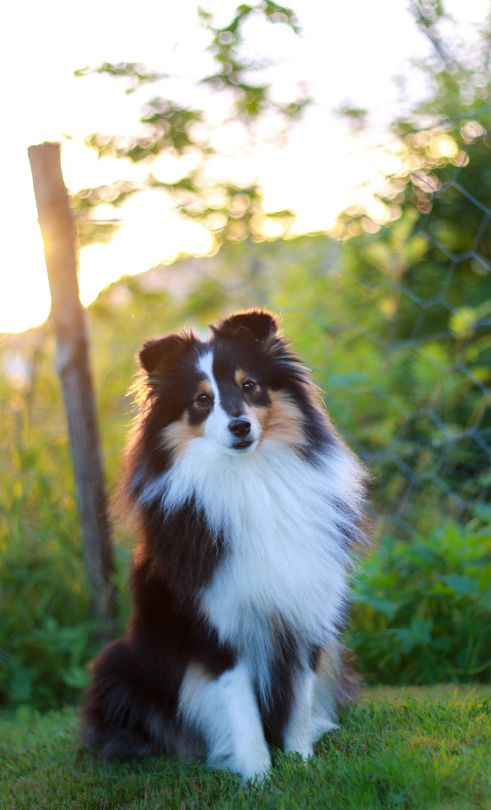 I love my Sheltie so much! This one kind of looks like him. Source - http://zeldathesheltie.tumblr.com/post/146621696266/she-hates-when-i-pull-out-the-camera-but-some-way