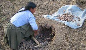 Imagen de mujer aymara haciendo hoyo para poner papas