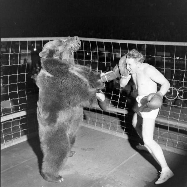 Combat de boxe entre Gus Waldorf et un ours en 1949 ours boxe homme gus waldorf 01 photo histoire