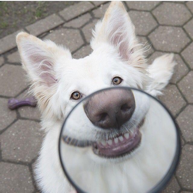 Tak se podíváme na zoubek tomu, jak může být ostropestřec prospěšný pro psy.    Ostropestřec mariánský působí příznivě na organismus pejska. Hlavní účinná látka silymarin zlepšuje funkci jater a regeneruje poškozené jaterní tkáně.   #irel #moravol #silymarin #ostropestrec #ostropestrecmariansky #mariansky #milkthistle #health #zdraví #pes #lol #smile #kiss #fun #funnyphoto #joke #happy #animal #dog #foto  @dogsofinstagram