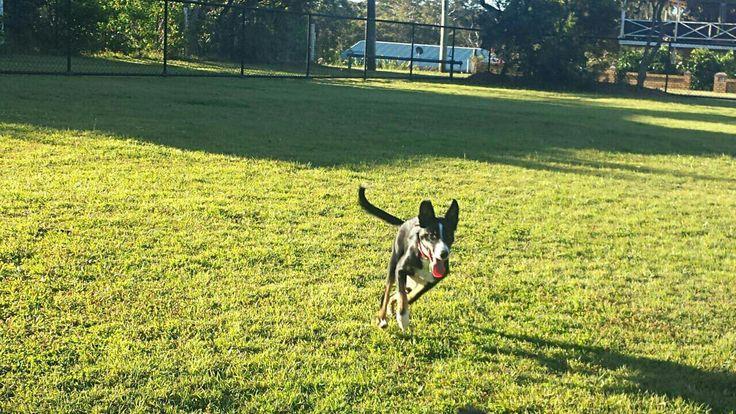 Oliver playing fetch at the dog park, 4 October 2016