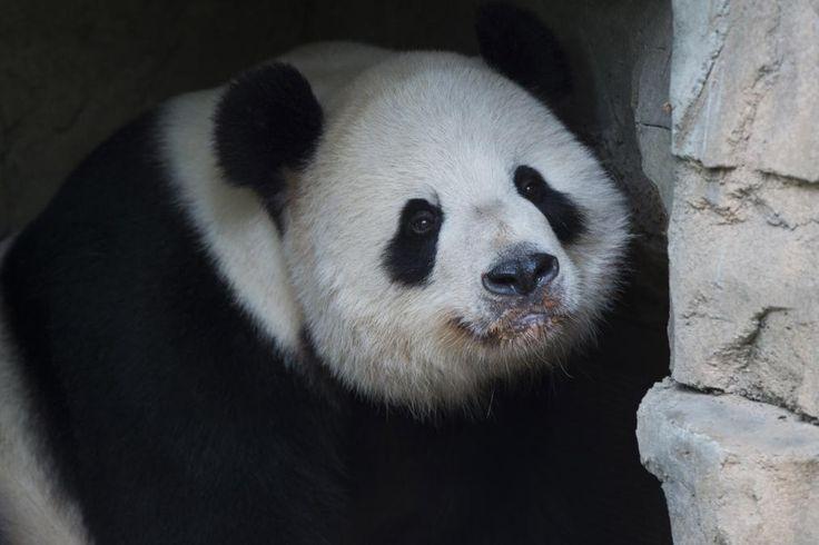 http://time.com/4192820/panda-snow-national-zoo/