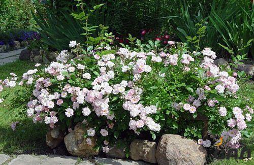 Полиантовая роза — отличное решение для вашей клумбы. Какой бы сезон не был на дворе, этот цветок будет всегда красоваться в вашем цветнике Создаем клумбу непрерывного цветения: фото, примеры и мастер-классы