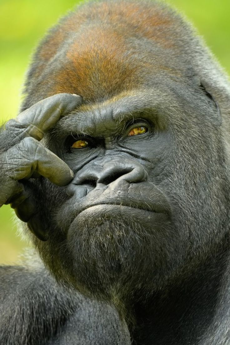 (notitle) – Gorillas & …