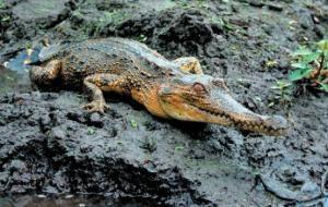 Seven distinct African crocodile species, not just three, biologists show
