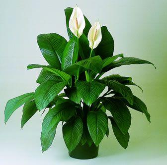Cuidado de plantas de interior buscar con google - Cuidado de plantas de interior ...