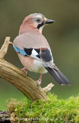 Eurasian Jay: W Europe & NW Africa to the Indian subcon-tinent/ the E seaboard of Asia/ down into SE Asia
