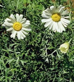 DIZIONARIO DEL BENESSERE VITALE: PIRETRO, insetticida naturale da usare con CAUTELA !!