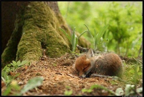 I <3 manimals!: Cutest Baby, Babies, Animal Baby, Animal Photo, Baby Animal, Naps Time, Baby Foxes, Sleep Baby, Sweet Dreams