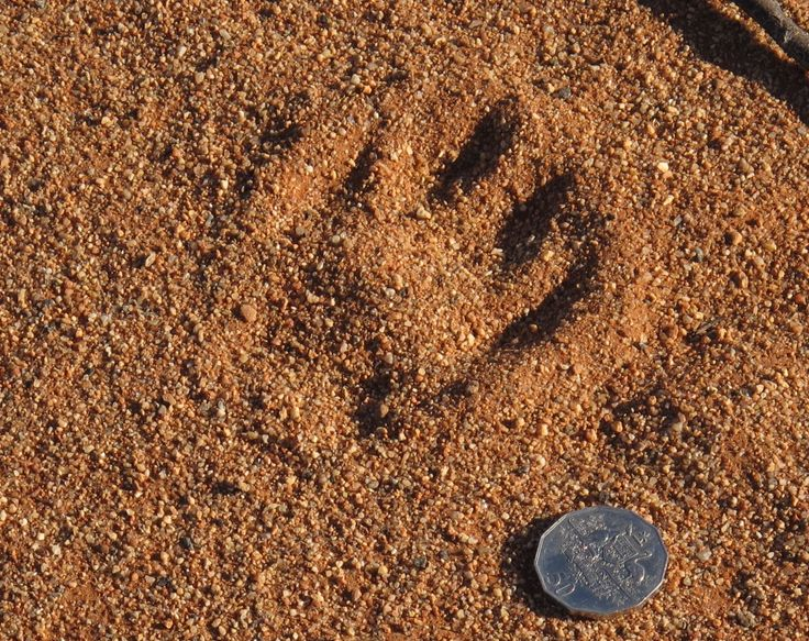 Dingo tracks are large and distinctive. The coin is an Australian 50 cents, 32 mm or 1.25 inches across.