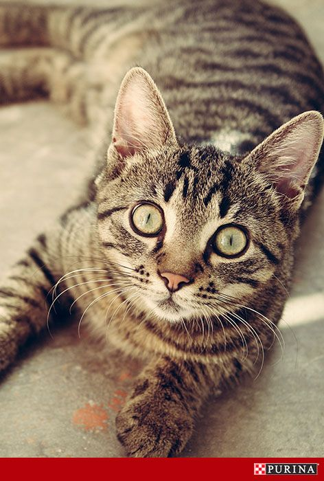 Cat behavior and personality can play a big factor in whether or not a particular cat breed is right for your family. If your house is quiet, a more relaxed cat may be a good choice. Head over to Purina.com to read more about calm cat breeds.
