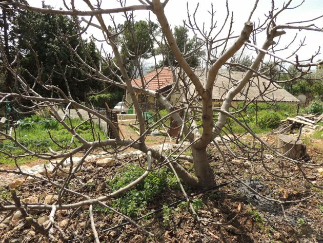 How To Prune Fruit Trees To Keep Them Small Fruit Trees Prune Fruit Fruit
