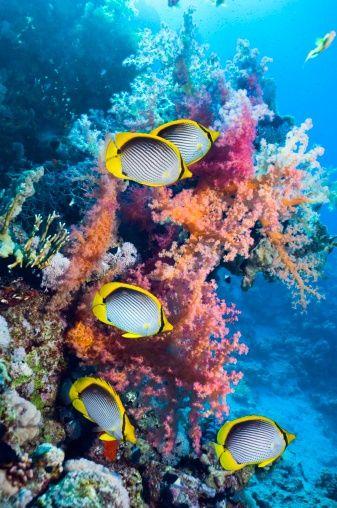 reef fish    Vicky Turek via Karen Klingenberg onto The sea is where I belong