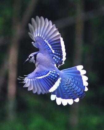 Le Geai Bleu d'Amérique, petit bijou de l'avifaune !