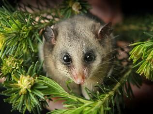 "The Mountain Pygmy-possum is the only Australian mammal that only lives in alpine areas in a tiny area of the so-called ""Australian alps."" This adorable animal is threatened by ski development and climate change."