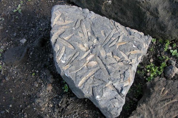 Απολιθωμένα φύλλα από την καλντέρα της Σαντορίνης ηλικίας 60000 ετών selected by www.oiamansion.com