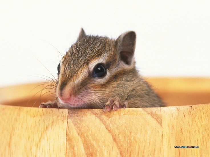 Cute Hamster Wallpaper Desktop Best Hd Wallpapers  Litle Pups 1024×768 Cute Hamster Wallpapers (44 Wallpapers) | Adorable Wallpapers