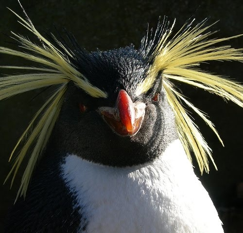 Yes really...he is a macaroni penguin, a large crested penguin from sub Antarctic regions.