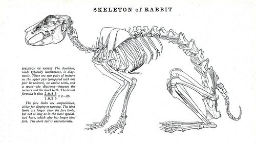 pin by jessica gerlach on animal skeletons and insides