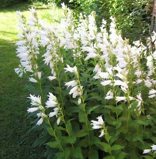 Valkoinen ukonkello Narrin tontilla: Heinäkuun alun kukkijat
