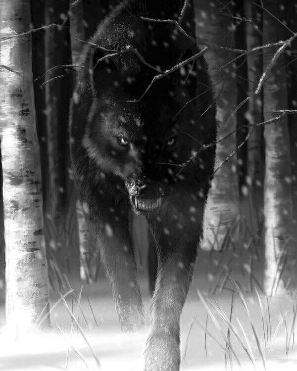 Black wolf, wolves, woods, night, snow, teeth, ferocious, menacing, snarling, stalking, trees