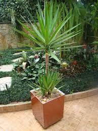 Las 25 mejores ideas sobre plantas para cercos en for Planta yuca exterior