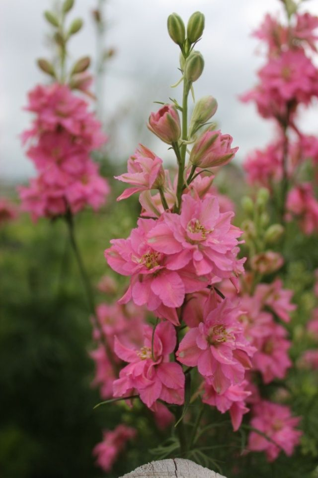 Pink Larkspur, self-seeding annual. Be sure to let the flowers of the larkspur go to seed.