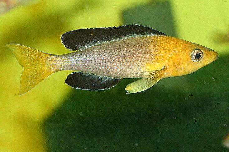 Cyprichromis leptosoma tanganjika cichlides pinterest for Lake tanganyika fish