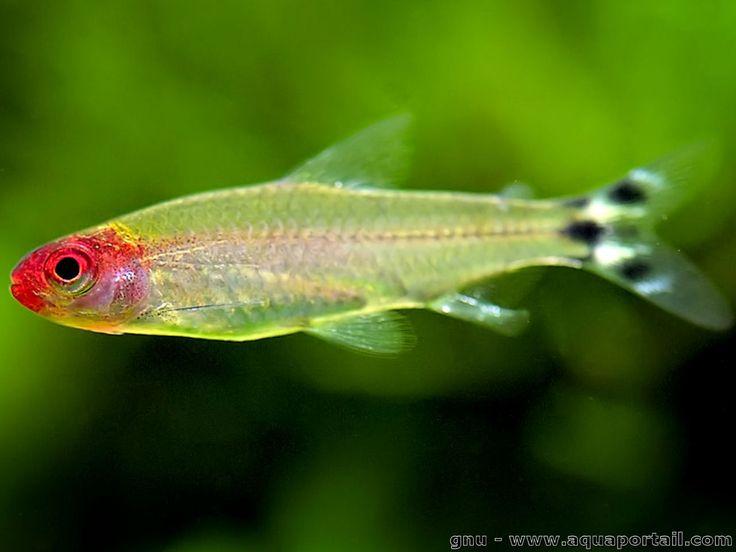 Poisson aquarium eau douce 136 best poissons d eau douce for Aquarium poisson eau chaude