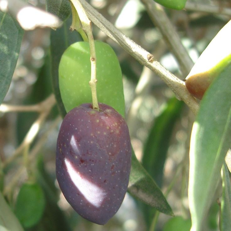 Kalamata olive tree from garden for What to plant under olive trees