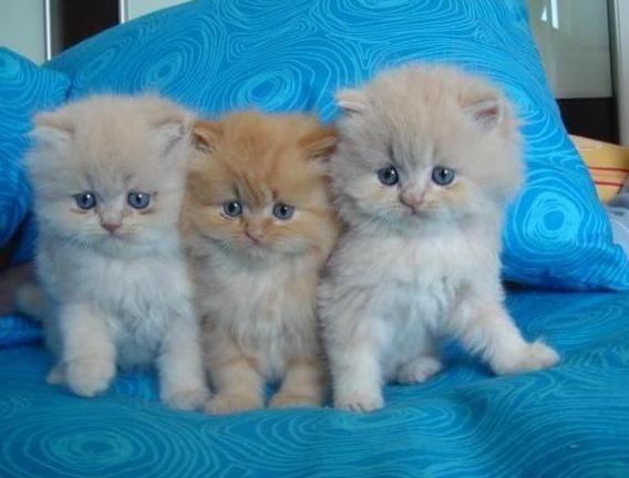 gato raza angora bebe - Buscar con Google