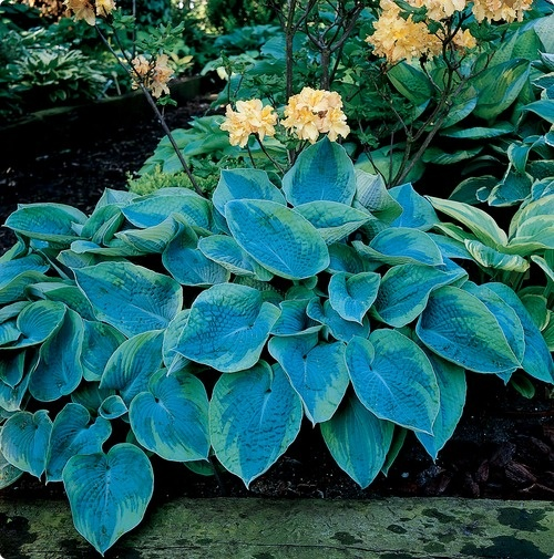 hpotter.com allows you to buy these hosta from a Main St. garden center! #SAVEMAINST #SHOPLOCAL #springiscoming