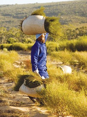 Harvesting rooibos (red bush) tea leaves, South Africa. BelAfrique your personal travel planner - www.BelAfrique,com