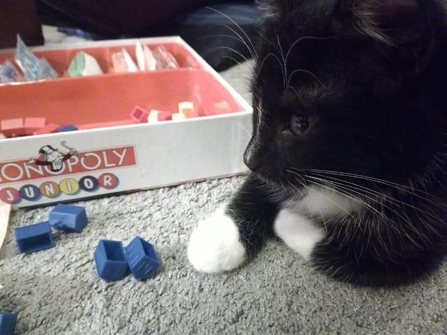 Peli Ilta Havisin Ja Sitten Nukahdin Kissanpentu Kissa Kissanelamaa Monopolyjunior Lautapelit Cat Kitten Catagram Catsofinstagram Kitten Animals Cats