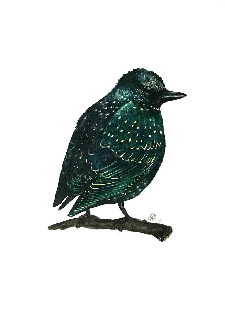 Excited to share the latest addition to my #etsy shop: watercolor starling bird  painting / illustration print.