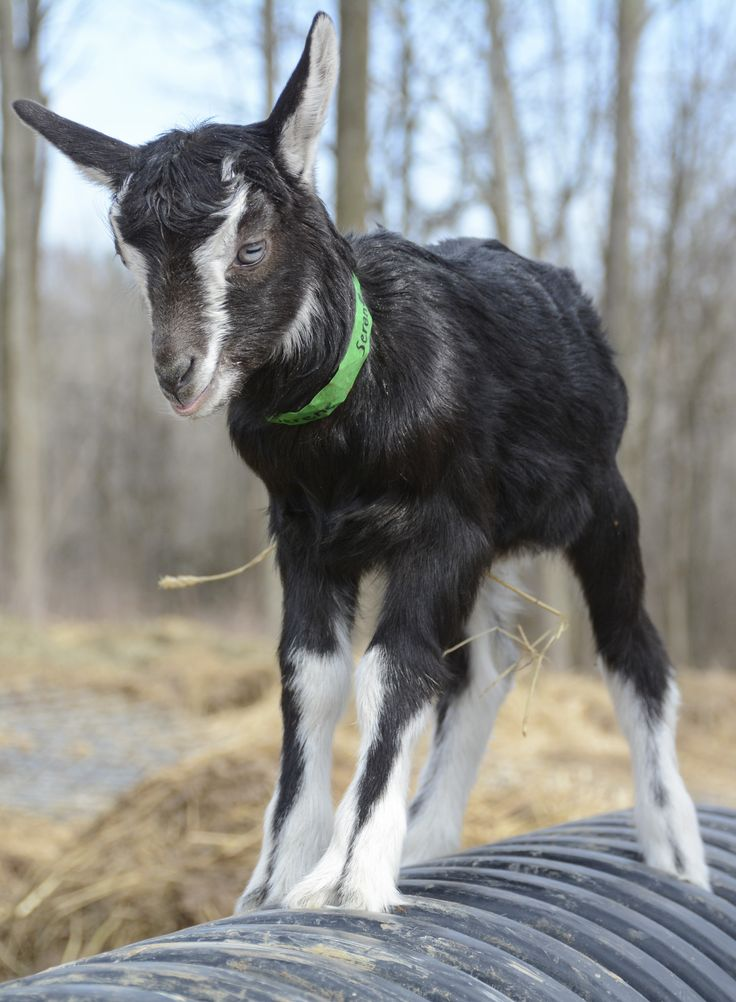 54 best Baby Goats 2016 images on Pinterest   Baby goats ...  54 best Baby Go...