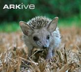 Close up of long-eared hedgehog