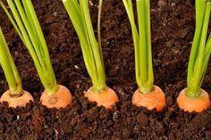 Egy titkos sárgarépa termesztési trükk, amit sokan nem ismernek! Mentsd el magadnak már most!