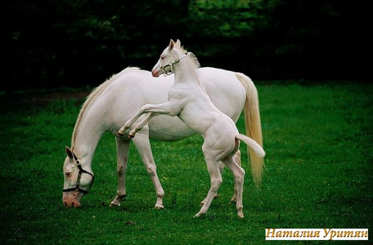 Gallery.ru / Фото #30 - Красивые фото ,картинки - природа - nataseluThoroughbred Horse, White Animal, Foals, Horses, Workout Fit, Beautiful, White Hors, Weights Loss, Wild Hors