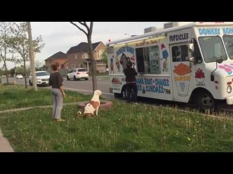Pit Bull patiently waits in line for ice cream - YouTube