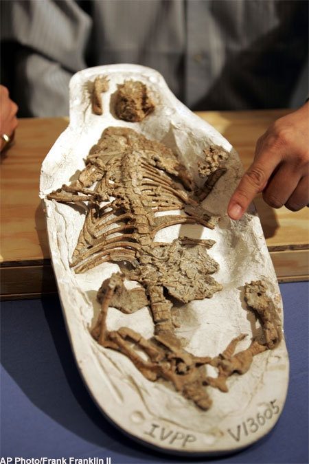 #Dinosaur #Fossil Found in Mammal's Stomach. Credit: AP Photo/Frank Franklin II