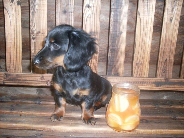 Tiny Toy Dachshund Puppies   Tiny Miniature Dachshund Rescue   Dog Breeds Picture