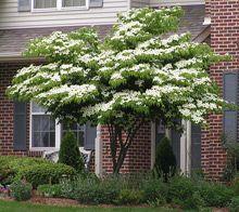 Kousa Dogwood. Specimen tree for front garden? Possibility