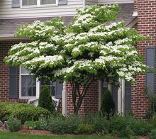 Kousa Dogwood. Specimen tree for front garden? Possibility