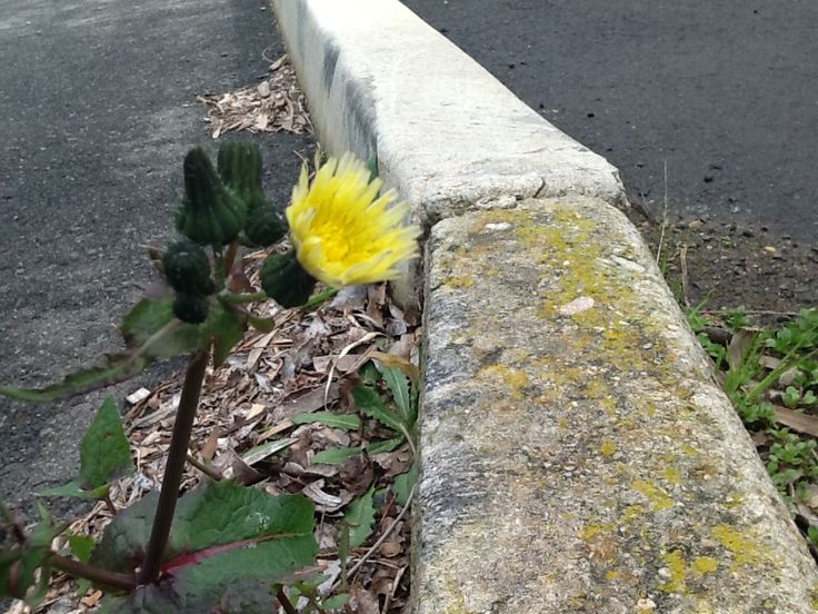 yellow flower in car park #yellowflowerincarpark