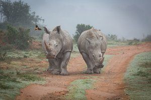 Two rhinos coming out of the mist in the Amakhala game reserve in South Africa. A little bird is landing on one of the rhinos.
