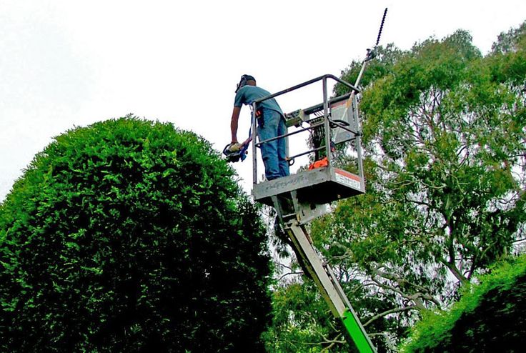 What is there to know about tree lopping? My husband and I have two huge trees on the side of our house that are bringing weeds to the yard and killing the grass. We are hoping to be able to have them taken out at an affordable price.